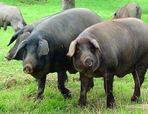 Conocemos al cerdo
